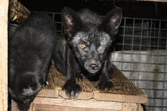 german shepherd dog(0.0), puppy(0.0), street dog(0.0), animal(1.0), dog(1.0), pet(1.0), mammal(1.0), schipperke(1.0),