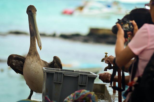 Un auténtico show circense el que improvisan cada día los pelícanos en el mercado de pescados de Avda. Darwin
