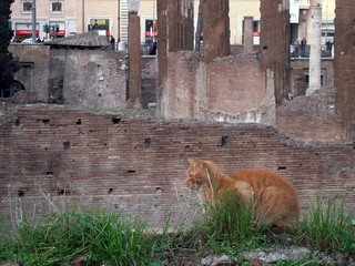 orange cat at largo argentina