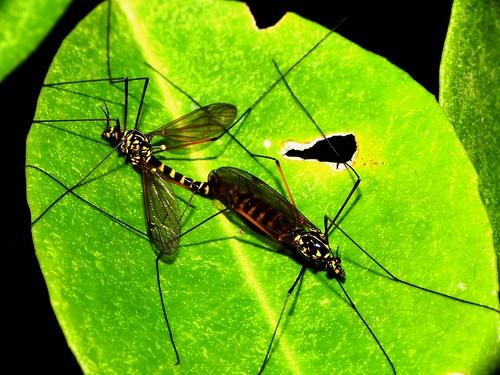 Mosquito - Zancudo