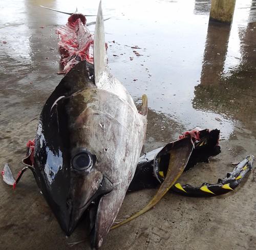 從鮪魚的例子可以窺見人類對海洋資源過度利用、干涉的複雜情結,雖然知道海洋資源正在瓦解,但目前人們積極、警惕的程度還很低。攝影:廖律清。