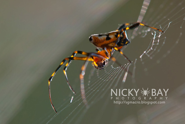 Pear-Shaped Leucauge (Opadometa sp.) - DSC_4506