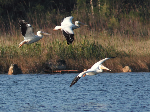 White Pelicans in flight 2-20121125