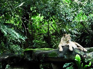 IMG_1506 Lion