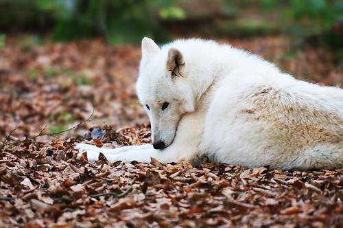 Polar Wolf by Gayuma