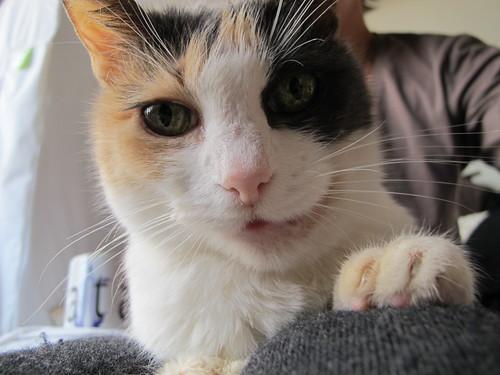 balinese cats hypoallergenic