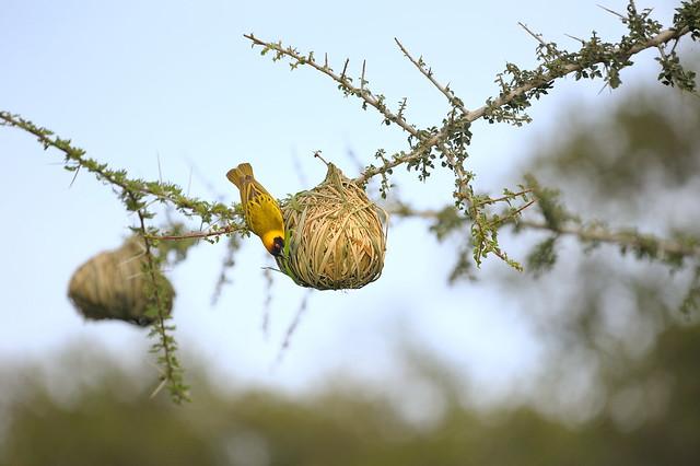 Masked Weaver Bird at Alamana camp in Tanzania-07 1-17-12