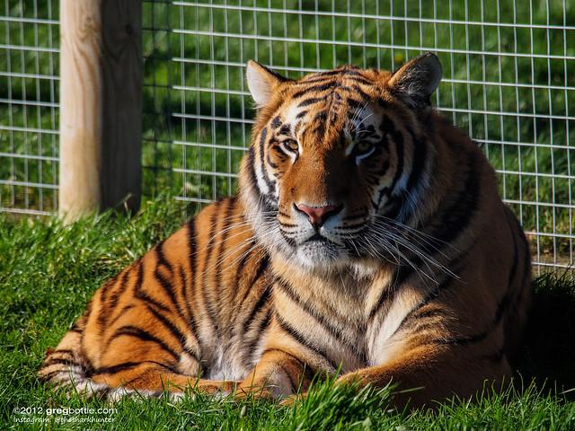 Wingham tiger