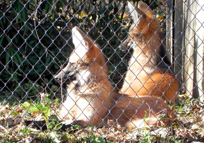 11-16-2012_Maned wolf sunning