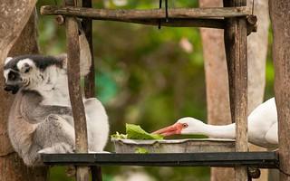 lemur-bird_2417544k