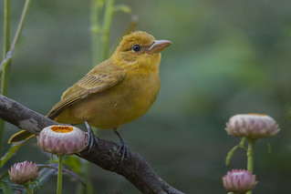 Summer tanager in my garden-Explored-