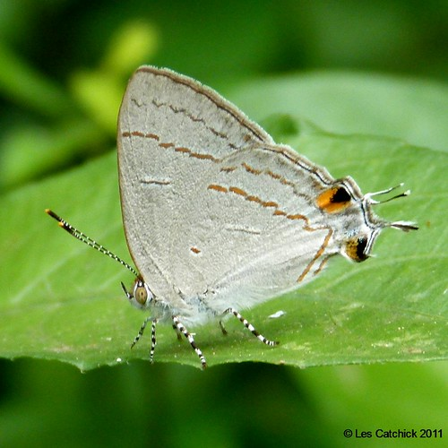 butterfly ghana accra hairstreak lpjc hypolycaenaphilippus