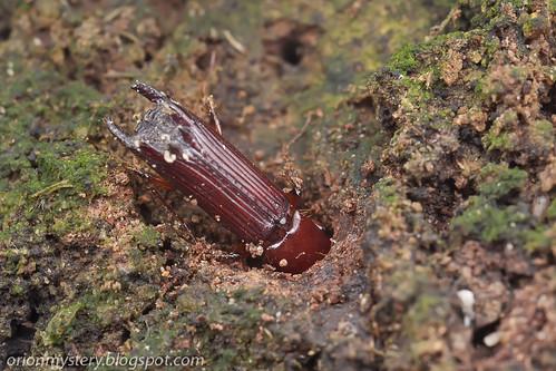 Ambrosia beetle, Platypodidae IMG_3406 copy
