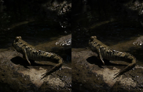 Periophthalmus argentilineatus, skipping, stereo parallel view