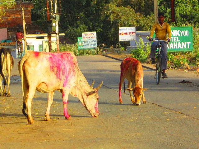 ***cows in road orchha