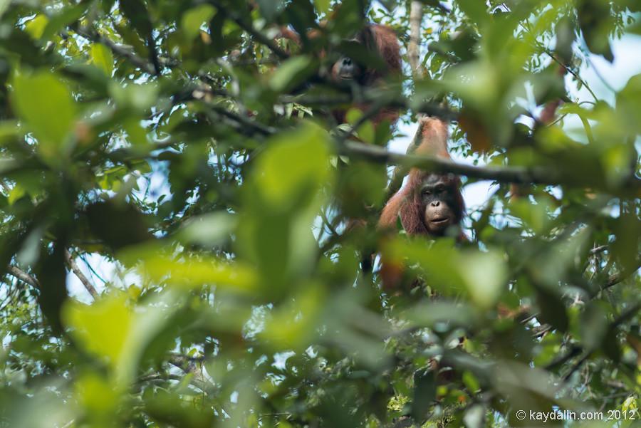 орангутан в калимантан остров