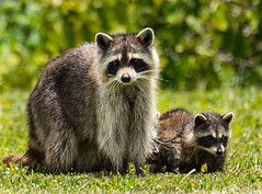 Florida Coon Family
