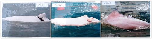 傷痕累累的白海豚照,翻拍自香港海豚保育學會Photo ID