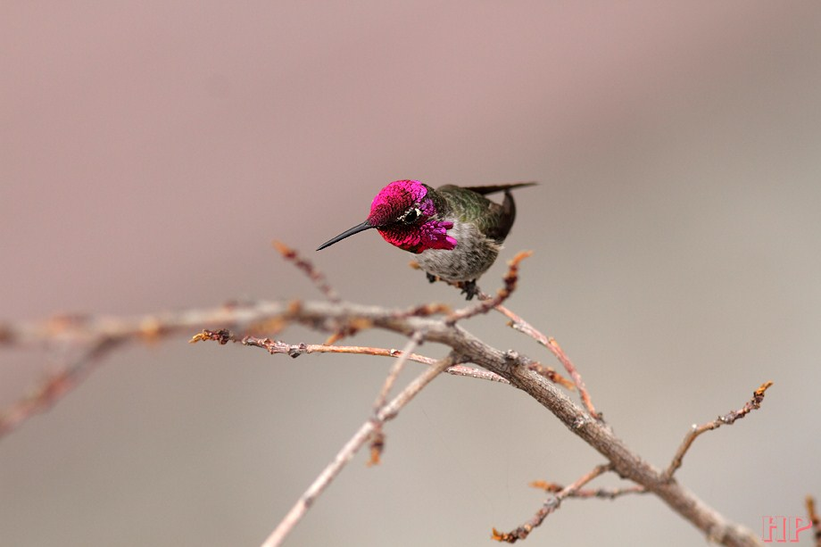 Anna's Hummingbird 110812