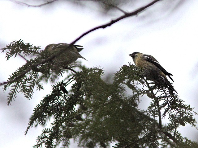 White-winged Crossbills 20121108