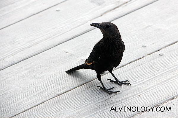 A common little bird in Masada, forgot the name...