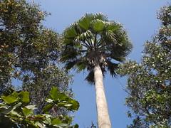 華盛頓椰子是高頭蝠的棲息處。