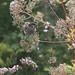 Small photo of Baldrian med skovspurv