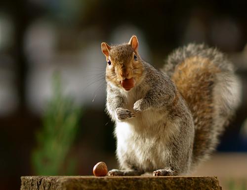 [フリー画像素材] 動物 1, 栗鼠・リス ID:201211221000