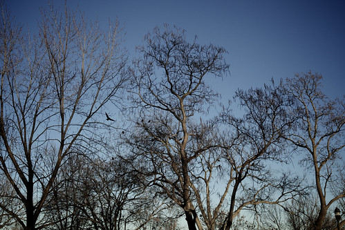 A murder (of crows) in Powderhorn