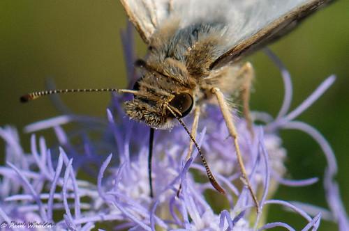 usa butterfly texas edinburgworldbirdingcenter lavianawhiteskipper heliopeteslaviana