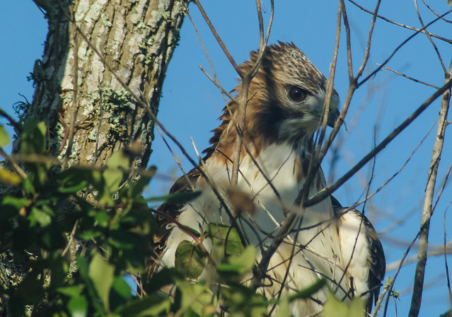 Unidentified Hawk