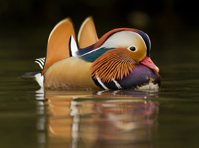 mandarin duck male 2