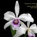 Laelia purpurata argolão - cultivo Orquidário Olimpia