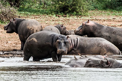 Nilpferde, Krügerpark