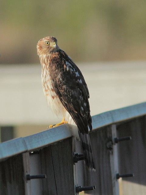 Broad-winged Hawk 20121207