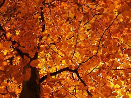 Leaf Canopy in Fall