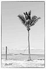 Palmtree black and white