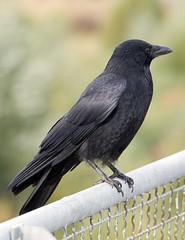 perching bird(0.0), emberizidae(0.0), blackbird(0.0), animal(1.0), wing(1.0), raven(1.0), crow(1.0), fauna(1.0), american crow(1.0), beak(1.0), bird(1.0), rook(1.0), wildlife(1.0),