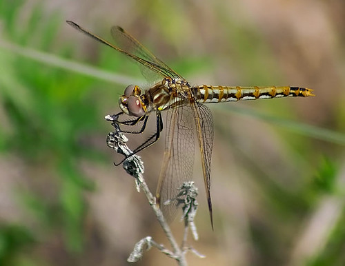 nature insect texas dragonfly wildlife decatur lbjnationalgrasslands