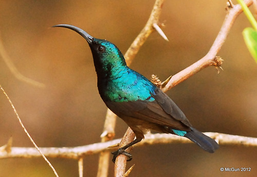 Purple Sunbird by McGun