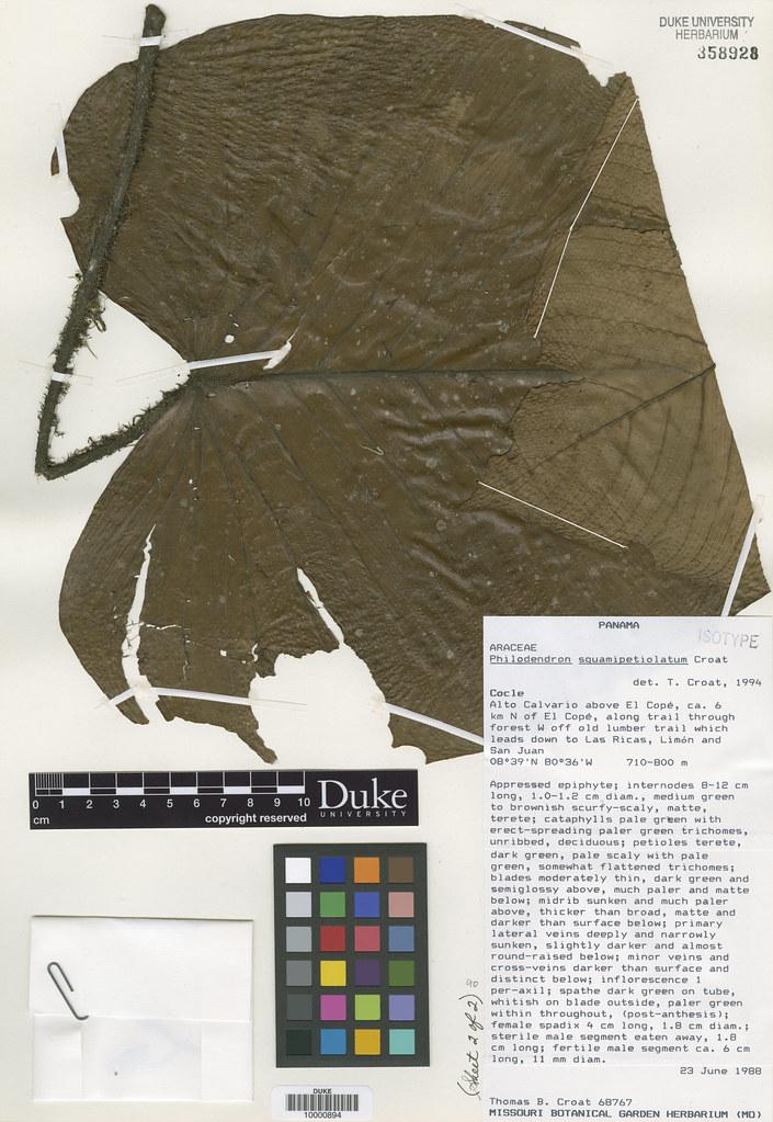 Araceae_Philodendron squamipetiolatum2