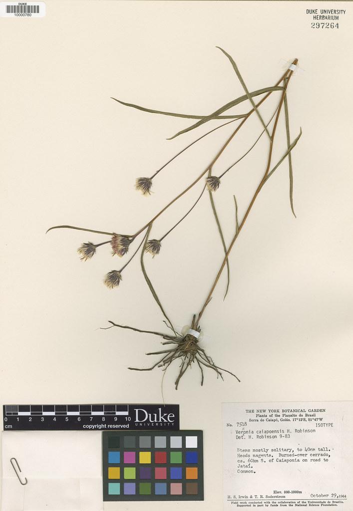 Asteraceae_Vernonia caiapoensis