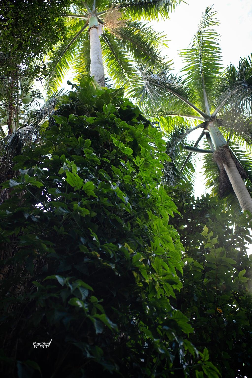 青田七六檳榔樹上的合果芋
