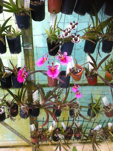 Tolumnia in a glass-house