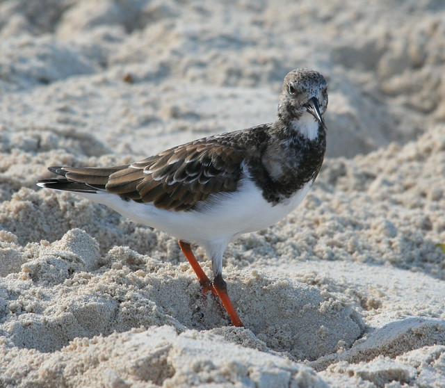 ruddy turnstone (1)