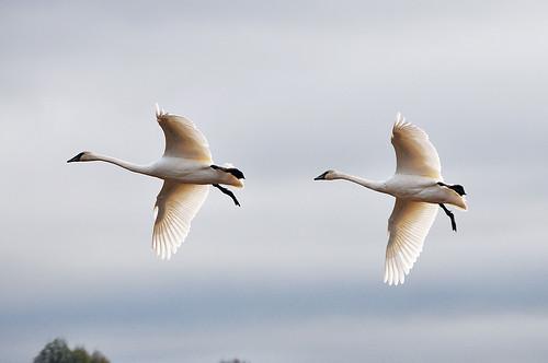 2012-11-12 Trumpeter Swans (01)