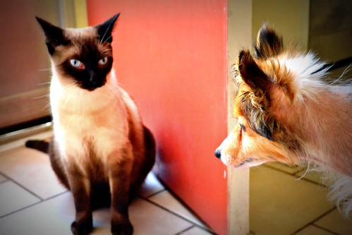 siamese cat glares at sheltie dog