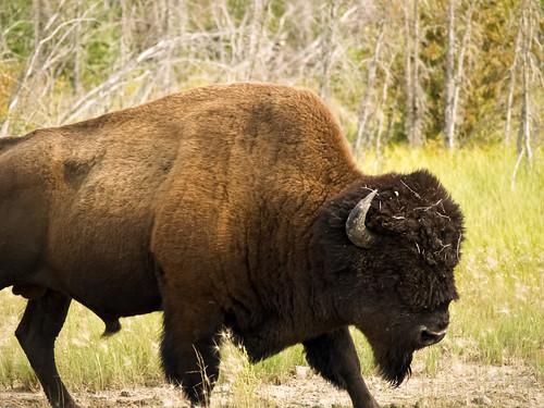 Bison(2011)