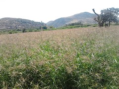 Field day in Ethiopia: Chloris gayana grass
