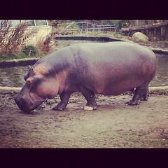 #hippopotamus #zoo